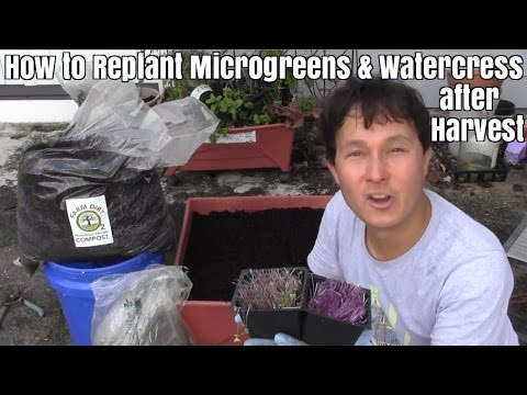 How to Replant Microgreens and Watercress after Harvest