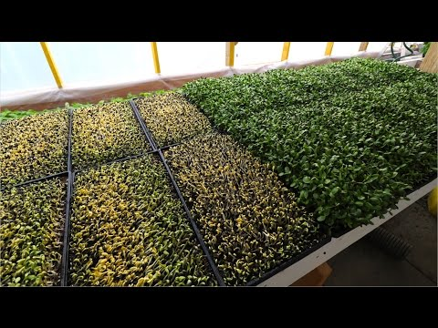 HOW TO: Avoid and Remedy Mould On Microgreens