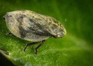 Leaf Hopper