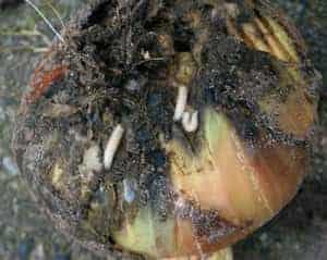 Onion Maggot
