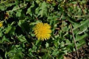 Dandelion Weed