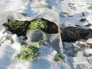 Lettuce in Winter