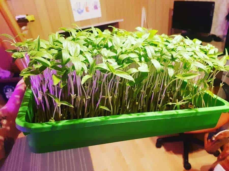Microgreens for Harvest