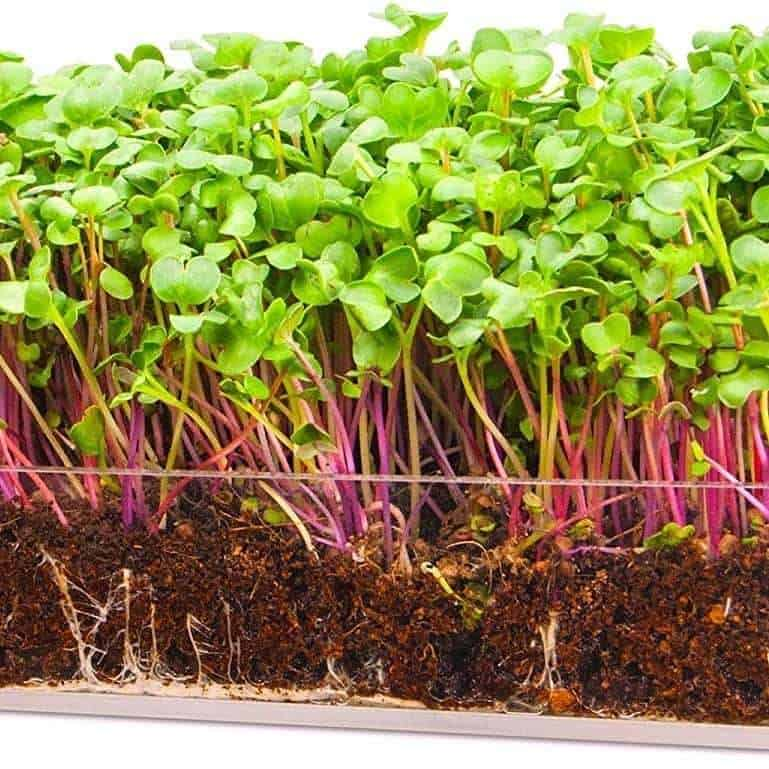 The Best Time To Plant Microgreens Explained Do Not Disturb