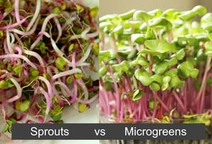 Microgreens vs Sprouts - Small
