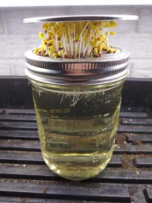 Grow Microgreens in a Jar