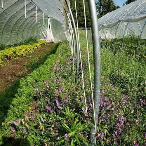 Cover crop in garden